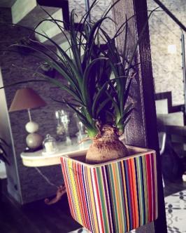 Plante verte Beaucarnea